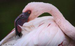Flamingo Fear